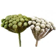 Albiflora, mix prana bel/zel, 100 kosov