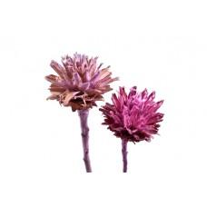 Leucospernum x1, mix frost. erika/robida, 100 kosov