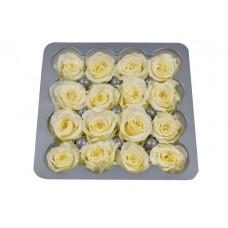 Vrtnice prep. PRINCESA, krem, fi 2-2,5 cm, 16 kosov