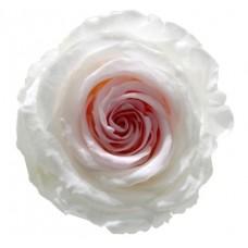 Vrtnice prep. ST BICOLOR, bela / roza, 6 kosov