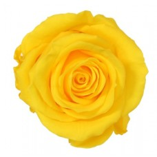 Vrtnice prep. ST, rumena, 6 kosov