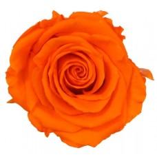 Vrtnice prep. ST, oranžna, 6 kosov