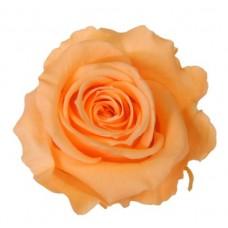 Vrtnice prep. ST, breskev, 6 kosov