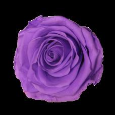Vrtnice prep. ST, sv lila, 6 kosov