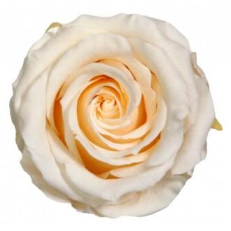 Vrtnice prep. ST, krem, 6 kosov