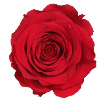 Vrtnice prep. ST, rdeča, 6 kosov