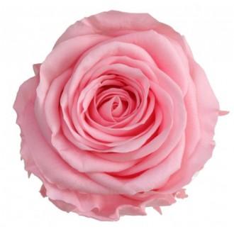 Vrtnice prep. ST, roza pastel, 6 kosov