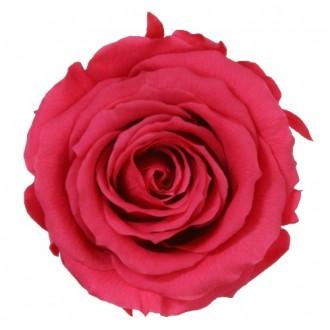 Vrtnice prep. ST, temno pink, 6 kosov