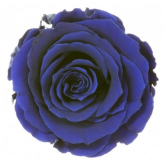 Vrtnice prep. ST, temno modra, 6 kosov