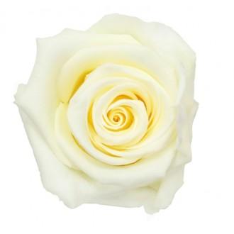 Vrtnice prep. ST, vanilija krem, 6 kosov